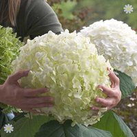 Tree Hydrangea Incrediball (Strong Annabelle) plant in 14cm pot