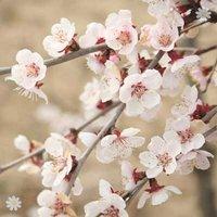 Prunus incisa Kojo-no-Mai (Fuji Cherry Tree) in 2L pot