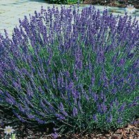 English Lavender Grosso hedging Pack - 12 plugs