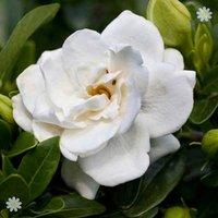 Hardy Gardenia Crown Jewels plant in 9cm pot
