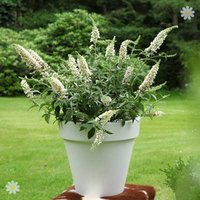 Dwarf Patio Buddleia 'White Chip' plants - pack of 3 in 9cm pots