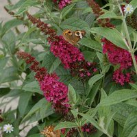 Dwarf Patio Buddleia 'Red Chip' - pack of 3 9cm pots
