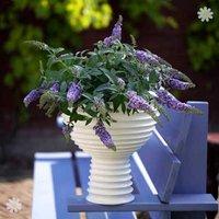 Compact Patio Buddleia 'Lilac Chip' pklantsb - set of 3 in 9cm pots