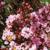Lagerstroemia' Rhapsody In Pink' plant in 9cm pot