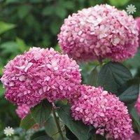 Tree Hydrangea Pink Annabelle 14cm pot