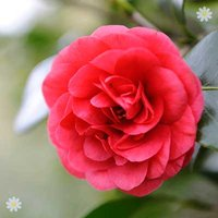 Camellia 'Ace of Hearts' (Red) 1L