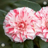 Camellia 'William Bartlett' (Pink) 1L