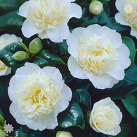 Camellia 'Brushfields Yellow' (Cream) 1L