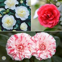 Camellia plant collection 3 varieties in 1L pots