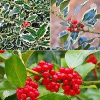 Hollybush collection - 3 vars x 1L