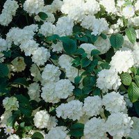 Complete Evergreen hardy Shrub Plant Collection - 6 varieties in 1L pots