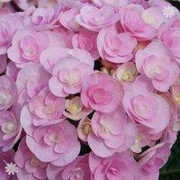 Double-Flowered Hydrangea 'Love' plant 9cm