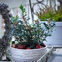 Ilex Blue Angel 2L (Holly Bush)