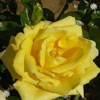 Gift Rose Bush 'Golden Wedding' 3L pot