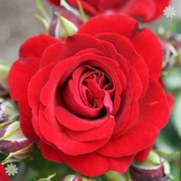 Gift Rose 'Ruby Anniversary' 3L pot