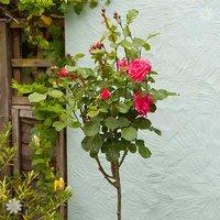Full Standard Rose 'English Princess' - bare root