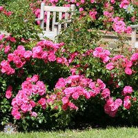Groundcover Rose plant 'Flowercarpet Pink' 3L pot