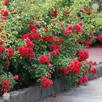 Groundcover Rose bush 'Flowercarpet Scarlet' 3L pot