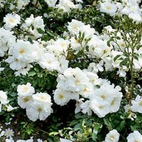 Groundcover Rose bush 'Flowercarpet White' 3L pot