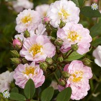 Pair of Mini Rambling Rose bushes 3L pots