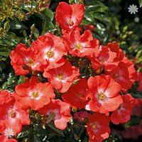 Groundcover Rose bush 'FlowerCarpet' Sunset 3L