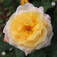 Climbing Rose 'Gold Charm' bare root