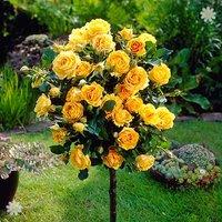 Pair of Patio Standard Roses - Yellow