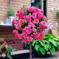 Pair of Patio Standard Roses - Pink