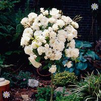 Pair of Patio Standard Roses - White