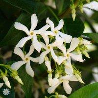 Trachelospermum jasminoides (Star Jasmine) vine plant 1.2M tall