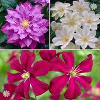 Repeat flowering Clematis Collection - 3 varieties