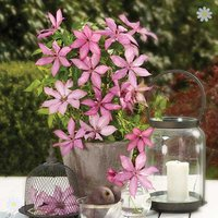Raymond Evison Boulevard Patio Clematis collection - 3 plts