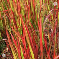 Perennial Imperata Red Baron (Blood Grass) plants - pack of 3 in 9cm pots