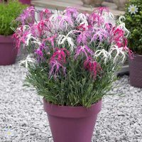 Set of 12 Dianthus chinensis 'Geisha Girl' Plants plugs