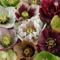 Hellebore Kings and Queens Mix - Pack of 10 Plants