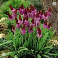 Red Hot Poker Primula plants (Primula vialii) - set of 3 in 9cm pots