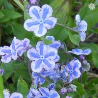 Omphalodes 'Starry Eyes' plants - set of 3 in 9cm pots