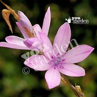 Pack of 3 Dierama erectum (Angels Fishing Rods) in 9cm pots