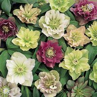 Hellebore Double Queen mix - 5 x 9cm