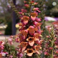 Digitalis Illumination Pink plant in 2L pot