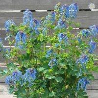 Corydalis 'Blue Line' 9cm