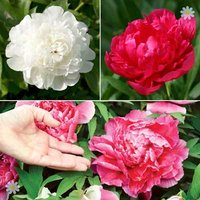 Herbeaceous Paeony plants (pack of 3 colours)