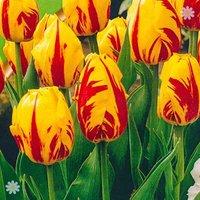 Tulip Washington Size:11/12 pack of 15 bulbs