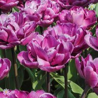 Tulip Blue Diamond Size:11/12 pack of 12 bulbs