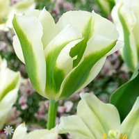 Tulip viridiflora Spring Green pack of 10 bulbs