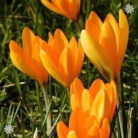 Crocus Large flowered Yellow Size:7+ pack of 20 bulbs