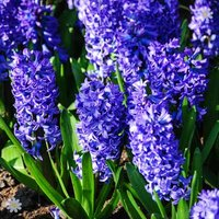 Hyacinth Blue Size:14/15 pack of 10 bulbs