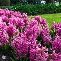 Hyacinth Pink Size:14/15 pack of 10 bulbs