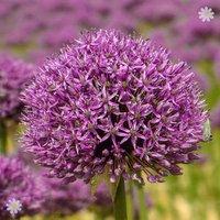 Allium Mars Size:18/20 pack of 2 bulbs