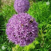 Allium christophii Size:10/12 pack of 10 bulbs